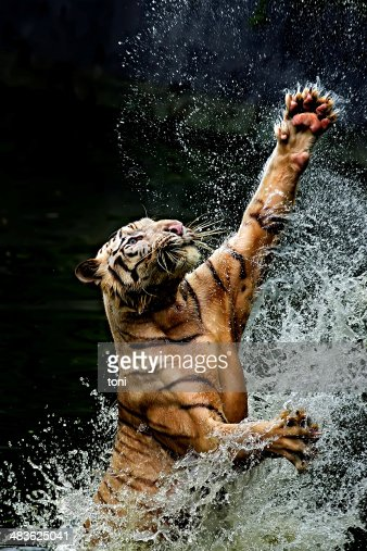 Indonesia, Jakarta Special Capital Region, Ragunan, Tiger jumping from water to catch food