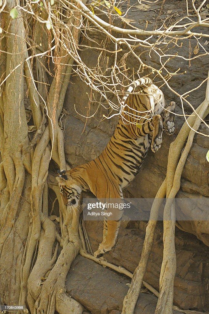 Tiger leap : Stock Photo