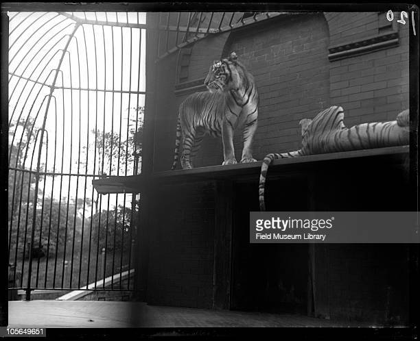 Tiger Lincoln Park Zoo mammal Chicago Illinois 1900