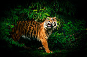 A tiger (in a zoo) looking up through foliage.