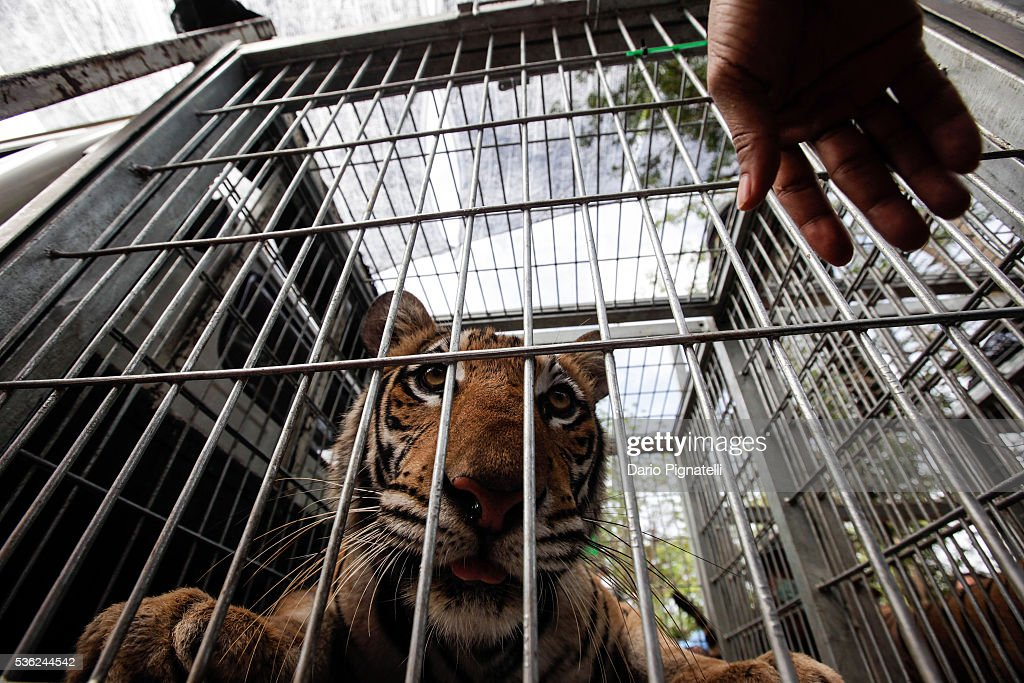 A tiger looks one as a Thai DNP veterinarian officer assist it at the Wat Pha Luang Ta Bua Tiger Temple on June 1, 2016 in Kanchanaburi province, Thailand. Wildlife authorities in Thailand raided a Buddhist temple in Kanchanaburi province where 137 tigers were kept, following accusations the monks were illegally breeding and trafficking endangered animals. Forty of the 137 tigers were rescued by Tuesday from the country's infamous 'Tiger Temple' despite opposition from the temple authorities.