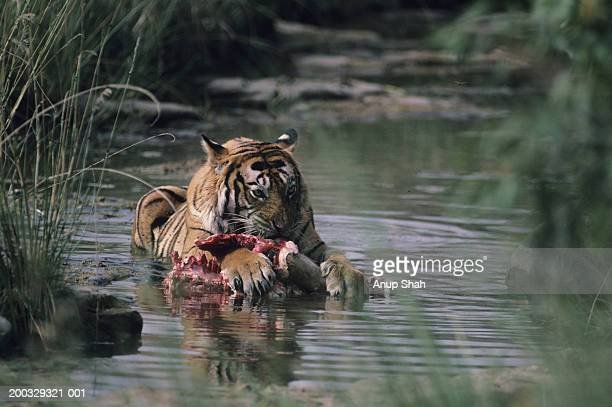 Tiger (Panthera tigris) lying down in shallow water, eating kill, Rajasthan, India