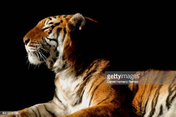Tiger lying down with black background. Panthera tigris