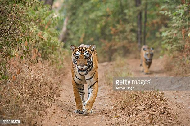 Tiger mother and cub in a forest