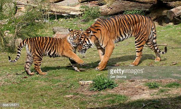Tiger Mum & Daughter