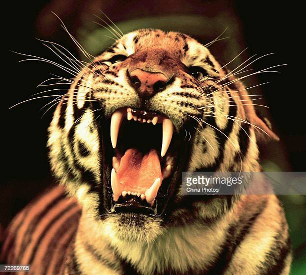A tiger of Hangzhou Sapphire Circus roars during a rehearsal at the Wuhan Acrobatics Hall on October 25 2006 in Wuhan of Hubei Province China The...