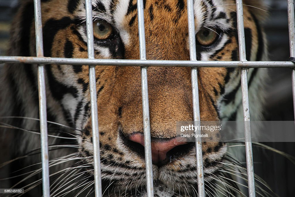 A tiger peers through the bars of its cage at the Wat Pha Luang Ta Bua Tiger Temple on June 1, 2016 in Kanchanaburi province, Thailand. Wildlife authorities in Thailand raided a Buddhist temple in Kanchanaburi province where 137 tigers were kept, following accusations the monks were illegally breeding and trafficking endangered animals. Forty of the 137 tigers were rescued by Tuesday from the country's infamous 'Tiger Temple' despite opposition from the temple authorities.