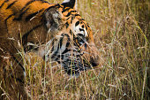 Warm and sunny day with tiger wild life shoot