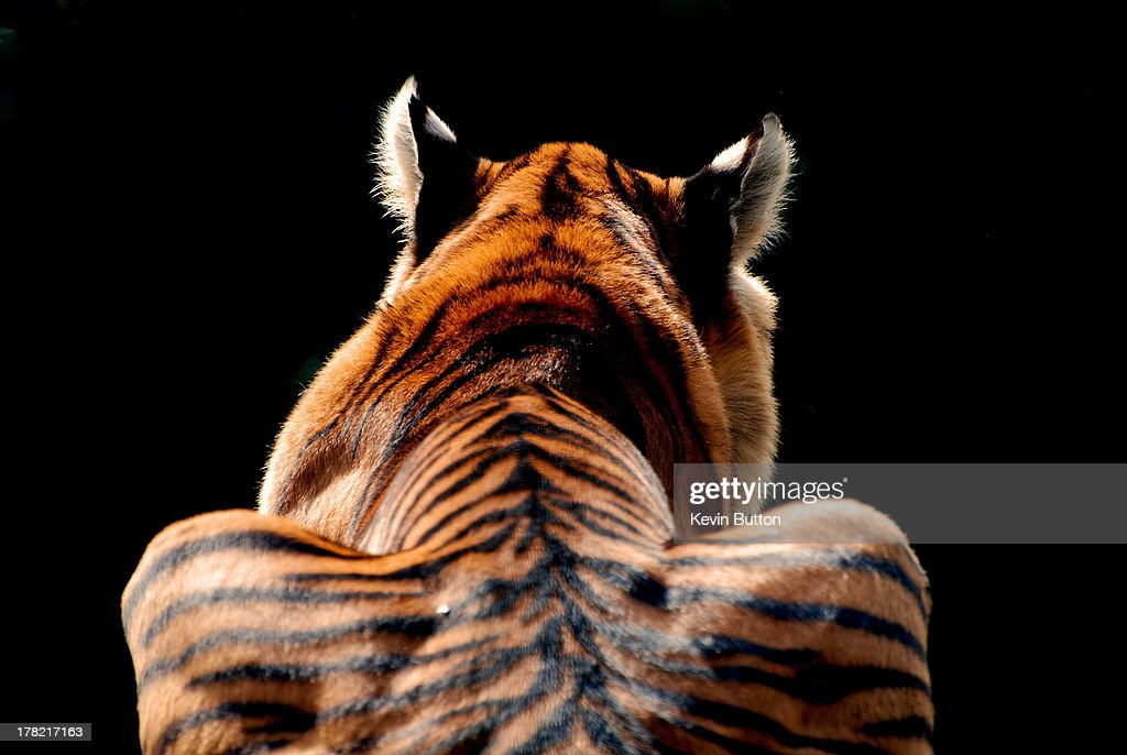 Back view of a tiger with black background.