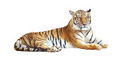 Tiger looking camera with clipping path on white background