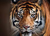 close-up of a tiger