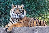 Beautiful Tiger looking directly at camera.