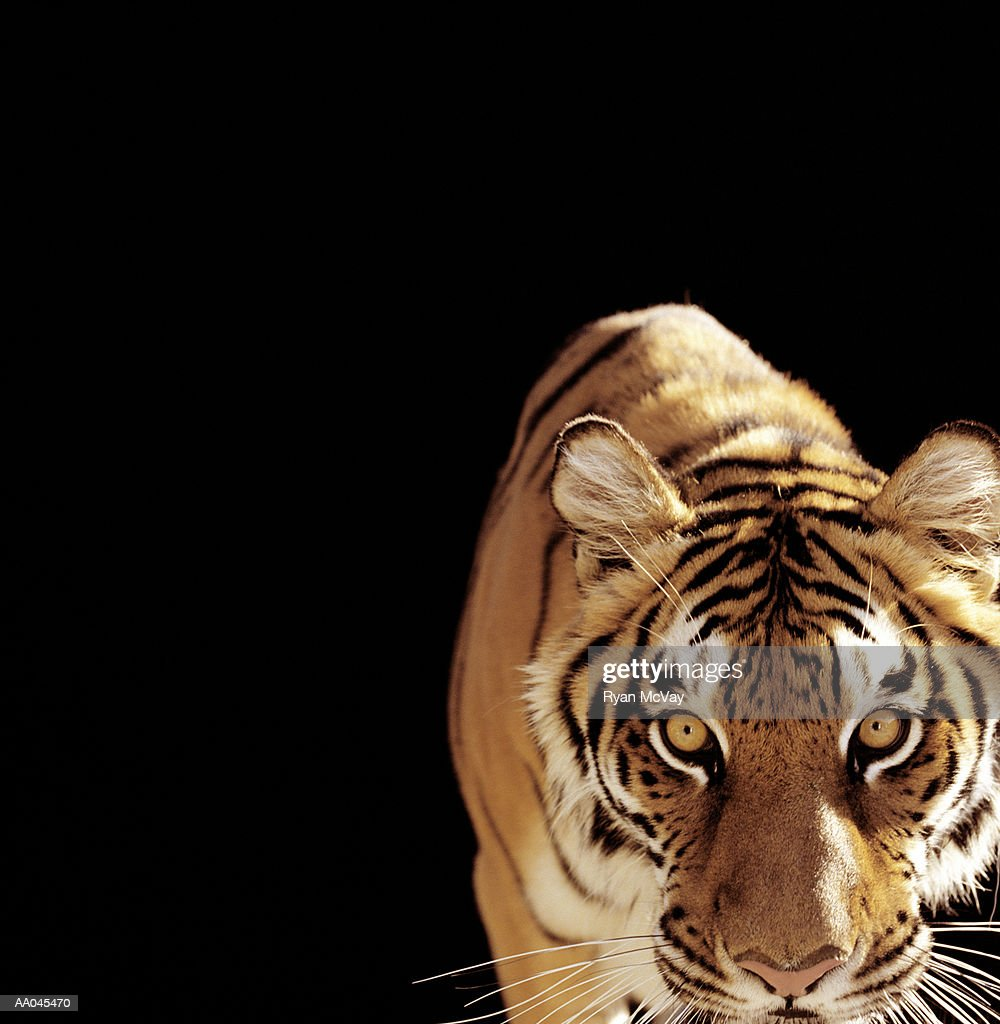 Tiger (Panthera tigris) : Stock Photo