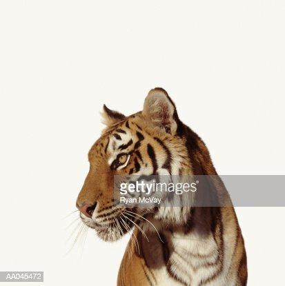 Tiger (Panthera tigirs) : Stock Photo