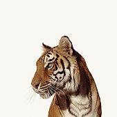 Tiger (Panthera tigirs)