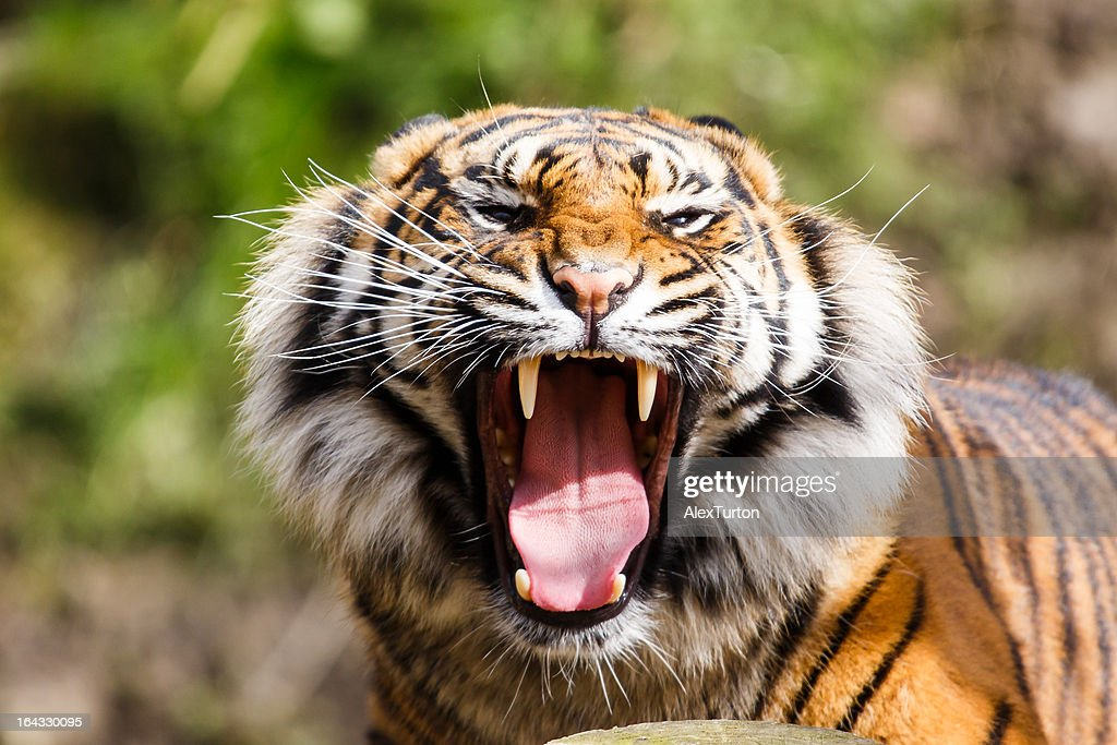 Tiger portrait : Stock Photo