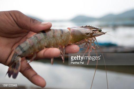 Tiger Prawn found in Chilika Lake
