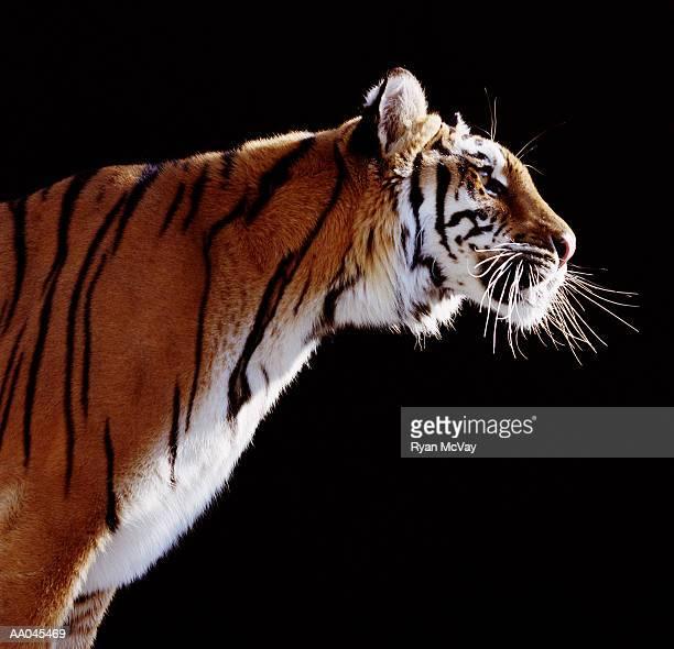 Tiger (Panthera tigris), profile