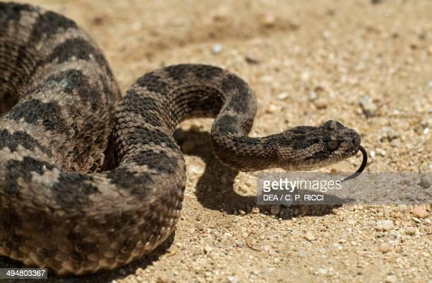 Tiger rattlesnake Viperidae