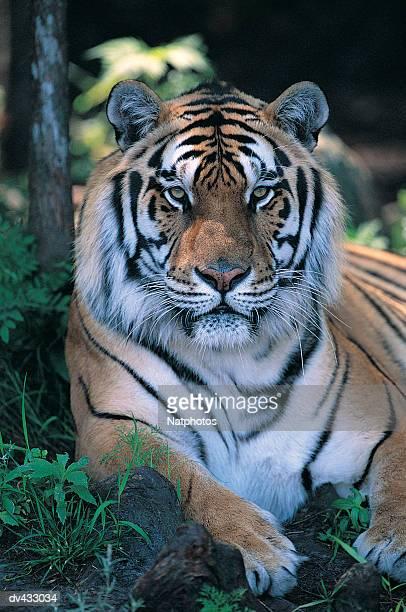 Tiger resting (Panthera tigris)