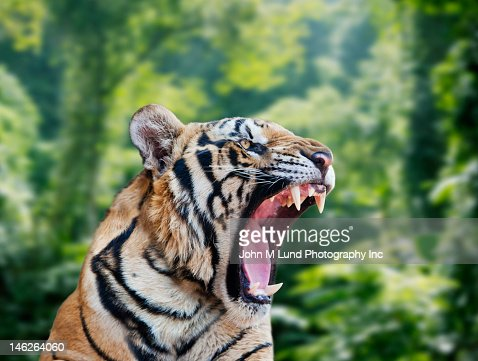 Tiger roaring in forest : Stock Photo