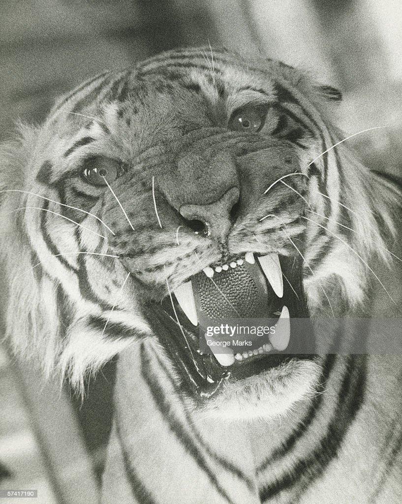 Tiger roaring, (B&W), (Close-up) : Stock Photo