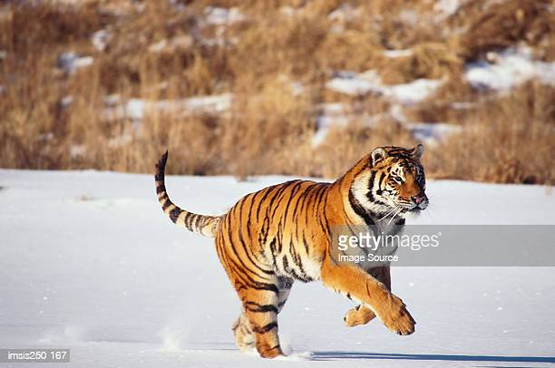 Tiger running in the snow