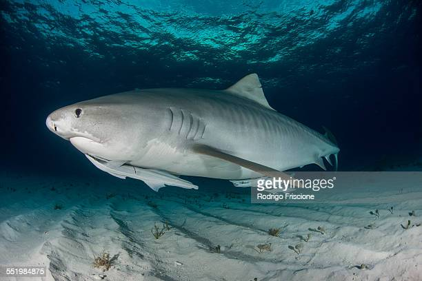 Tiger shark (Galeocerdo cuvier) swimming in the shallow sand banks, north of the Bahamas