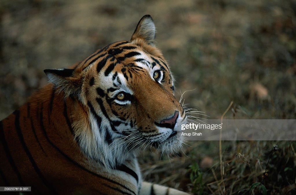 Tiger (Panthera tigris) sitting, India : Stock Photo