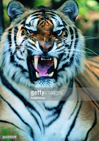 Tiger snarling, close-up (Panthera tigris)