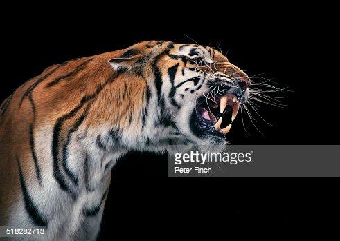Tiger snarling : Stock Photo