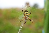 Tiger spider eating a fly the captured