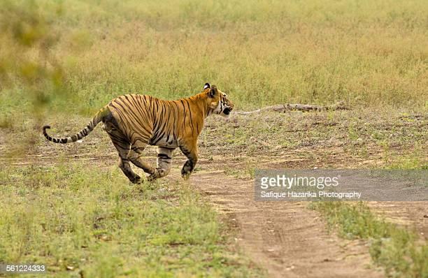Tiger sprint