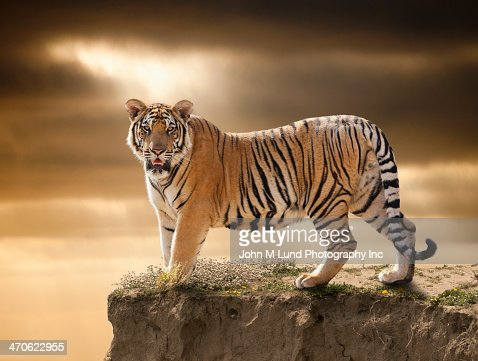 Tiger standing on cliff edge