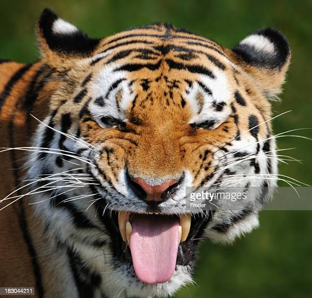 tiger sticks out tongue
