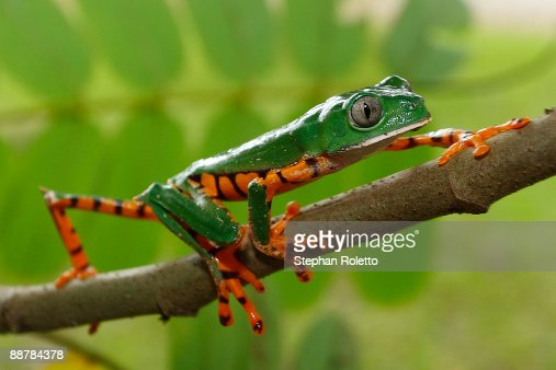 Tiger Striped Leaf Frog Stock Photo