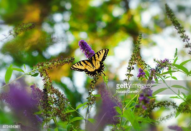 Tiger swallowtail butterfly among flowers