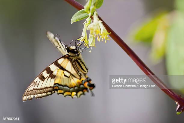 Tiger Swallowtail butterfly feeding on the nectar from honeyberry flowers in spring in Palmer Alaska