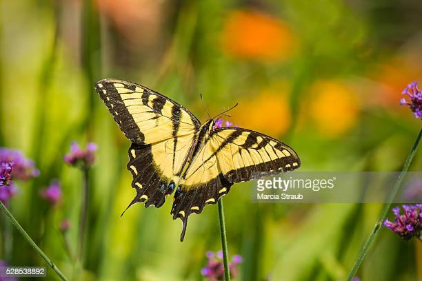 Tiger Swallowtail Butterfly in the Meadow