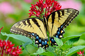 Tiger Swallowtail Butterfly on Egyptian Star Cluster Flowers