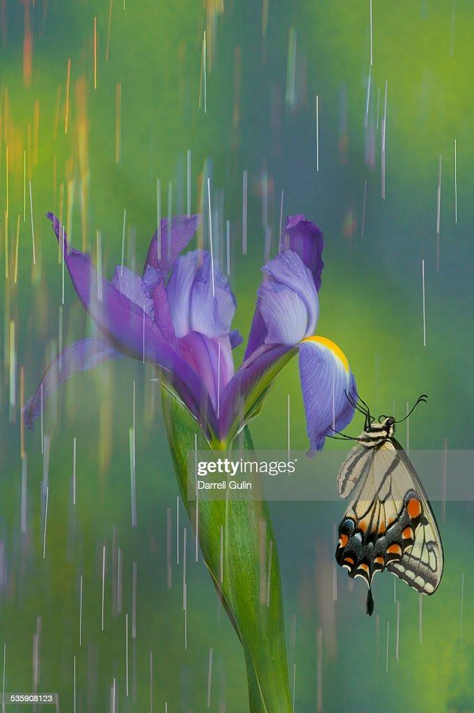 Tiger swallowtail butterfly rain on iris : Stock Photo