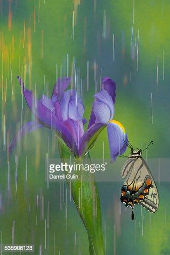 Tiger swallowtail butterfly rain on iris : Foto de stock