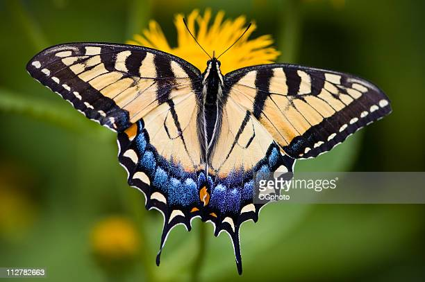 Tiger Swallowtail Butterfly sitting on a yellow flower