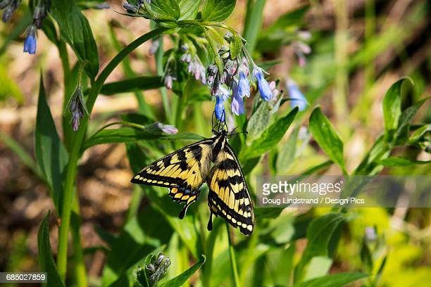 Tiger Swallowtail lands on Bluebell flowers, Eagle River Nature Center, Southcentral Alaska