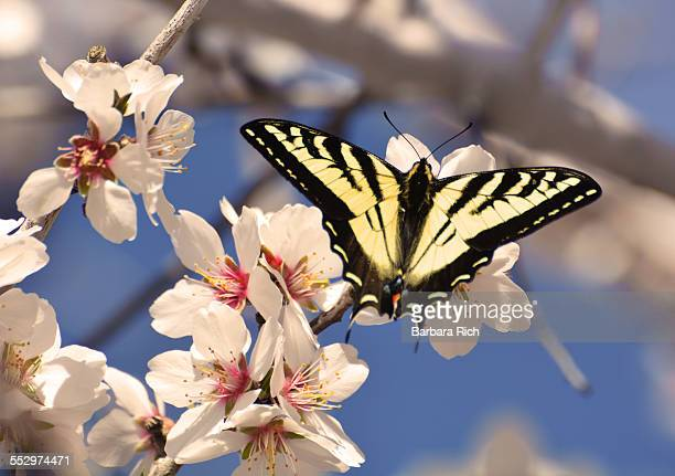 Tiger swallowtail on almond blossoms