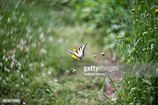 Tiger swallowtail : Stock Photo