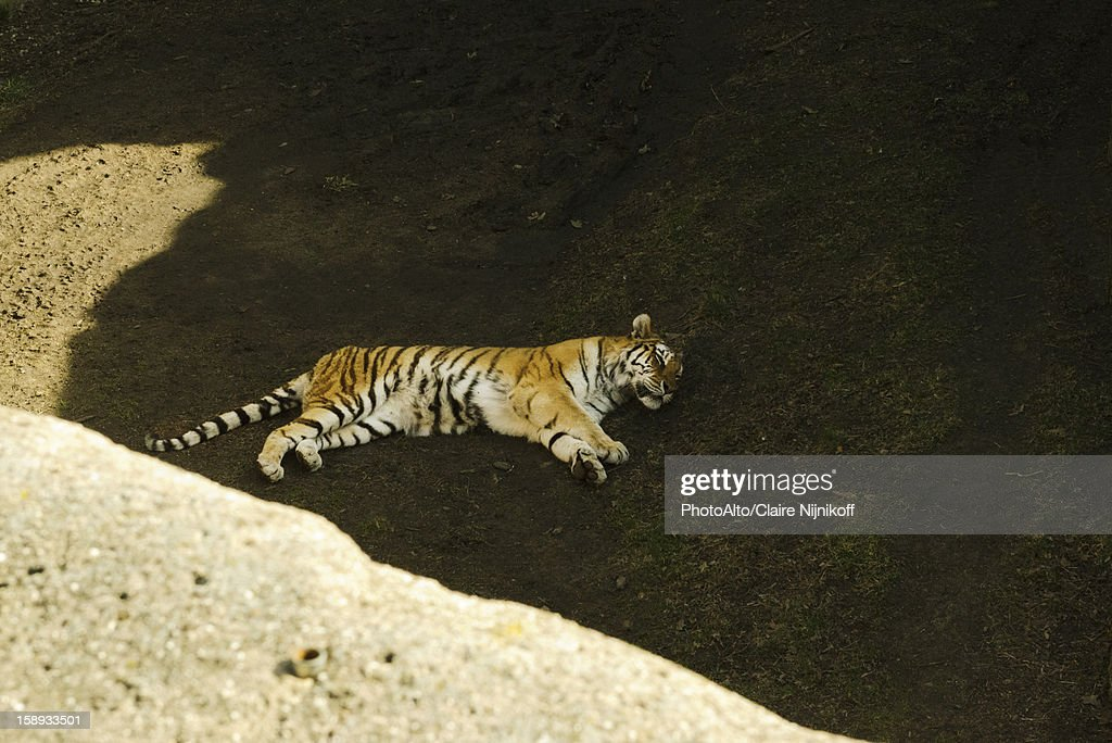Tiger taking a nap, Lincoln Park Zoo Chicago : Stock Photo