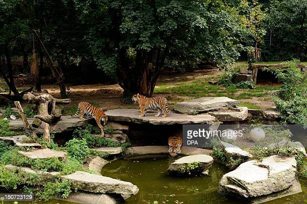 Tiger walk around their enclosure at the zoo in Cologne western Germany on August 25 2012 According to the police a zoo keeper has died after being...