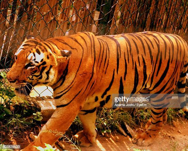Tiger Walking Against Fence