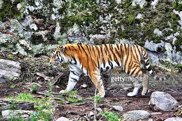 Tiger Walking By Rocky Mountain In Forest